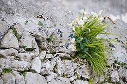 Alessandro (Lecce) - Pianta di fresia nata tra le fessure di un muretto a secco. Trasmette un'idea di perseveranza.