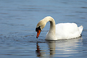 UK, Doncaster - Wednesday, March 11, 2009: A Mute swan (Cygnus olor) on water. (Image by Peter Horrell / http://peterhorrell.com)