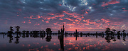 Cypress Trees in Silhouette - Bright Sunrise Panorama