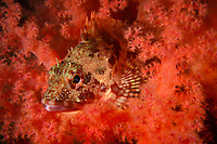 Marbled Rockfish, Sebastiscus marmoratus, Ninepin Group or Kwo Chau Islands (果洲群島) is a group of 29 islands in the easternmost waters of Hong Kong under the jurisdiction of Sai Kung District of Hong Kong, China.<br /> This Image is a part of the mission Wild Sea Hong Kong (Wild Wonders of China).