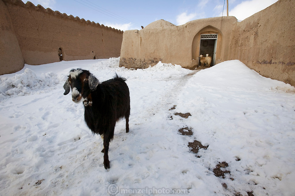 A goat ventures into the recent snowfall from his owner's home in Ghayoumabad village, near the highway between Yazd and Esfahan. Foothills of the Zagros Mountains of central Iran.