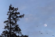 Middletown, New York - A crow (Corvus brachyrhynchos), at upper left, perches on a tree branch as other crows fly past the moon at twilight on Feb. 4, 2012.