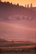 Elk at the National Bison Range, Montana