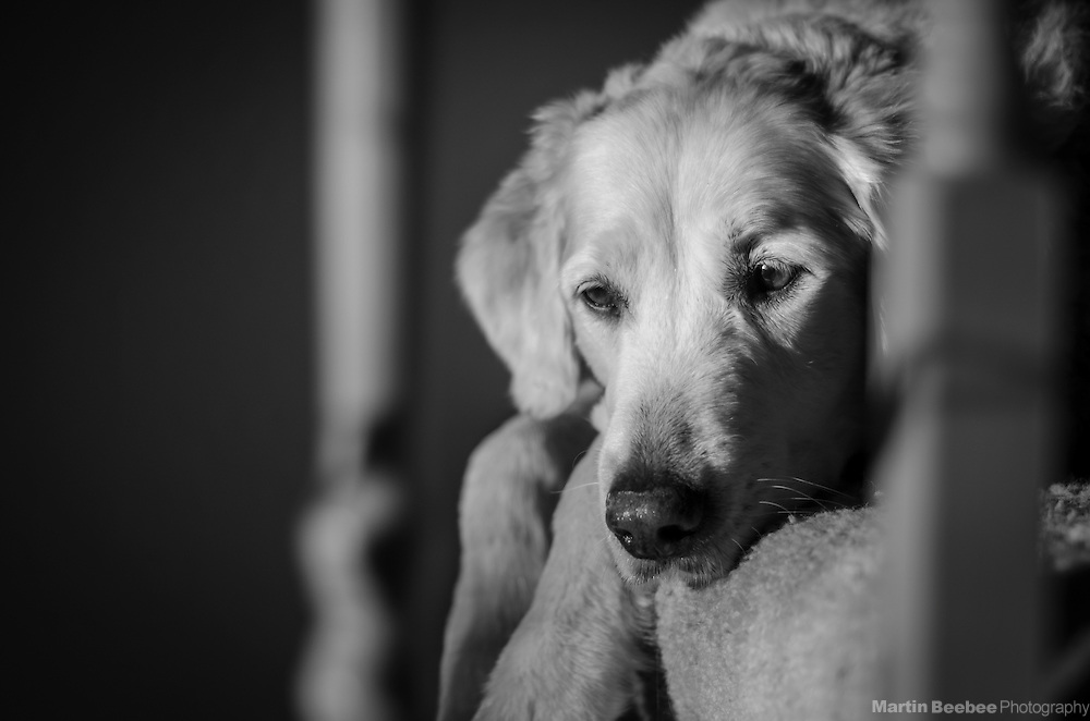 Dog (golden retriever) lying on staircase in afternoon light