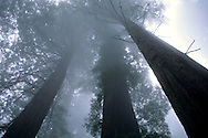 Looking up at coastal redwood trees in fog, Redwood National Park, California