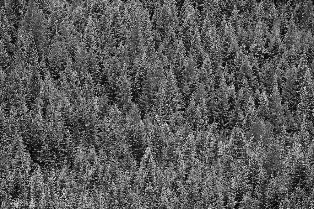 monochrome coniferous forest of Silver and Noble Fir in the Tahoma State Forest Washington state Department of Natural Resources (DNR) school trust lands in the Cascade Mountain Range near Mount Rainier.