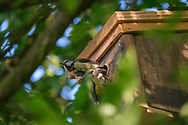 Blue-tits changing over while feeding young in nest-box
