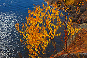 Cherry bushes backlit against Lake of The Woods on Storm Bay Road<br />Kenora<br />Ontario<br />Canada