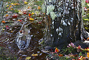 Left behind when the Skokomish River floodwater receded, a male chum salmon takes his last gasps in a puddle under a tree that will grow stronger from the nutrients deposited by his rotted flesh. (Mark Harrison / The Seattle Times)
