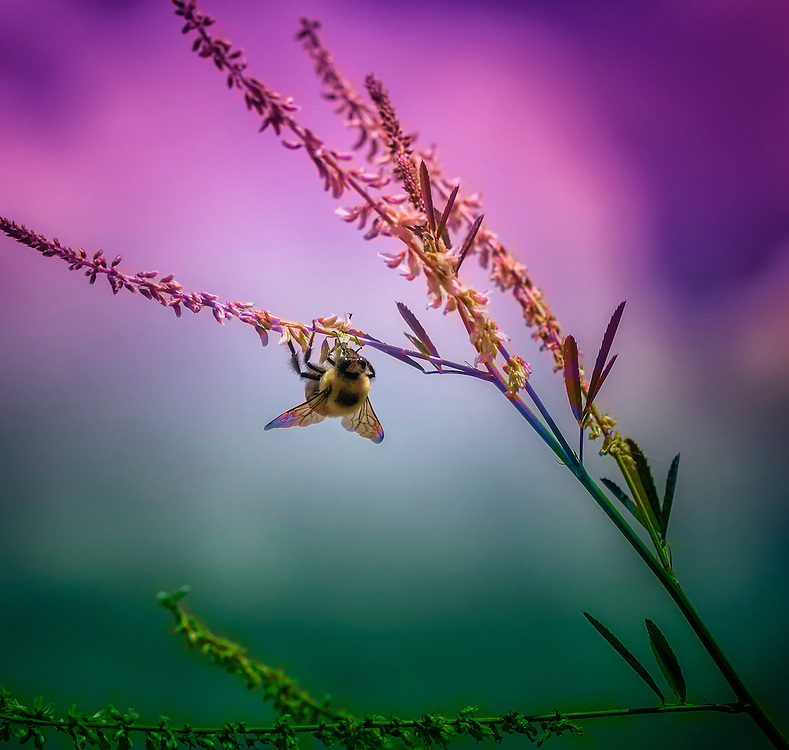 Just a fun bumble bee photograph...This shot was taken at Busch Wildlife while I was out walking the trails.