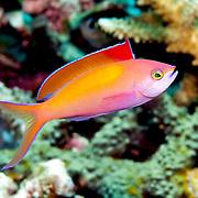 Redfin Anthias inhabit reefs often along the upper edge of steep slopes. Picture taken Alor, Indonesiai.