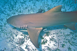 Captured Lemon Shark