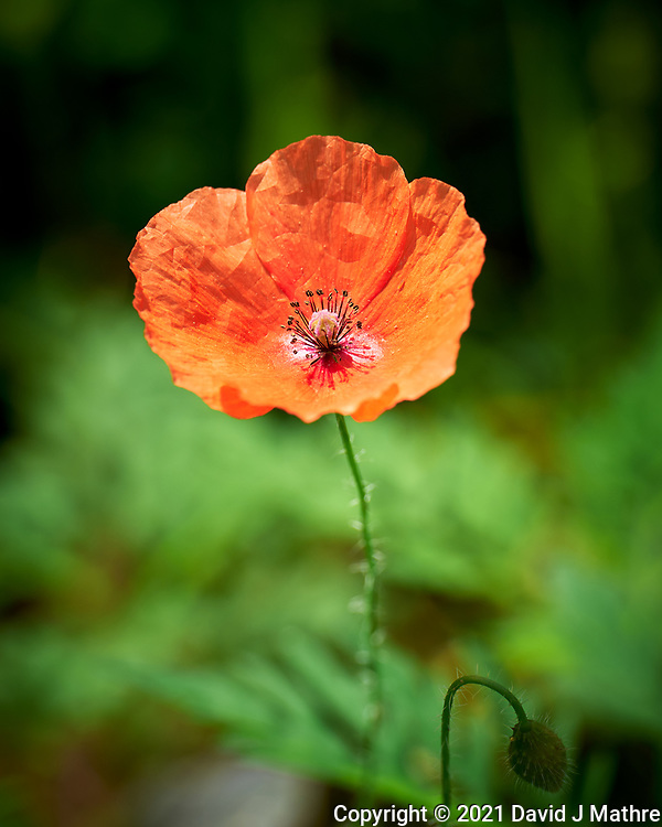 Red Poppy flower. Image taken with a Leica SL2 camera and 24-90 mm lens.