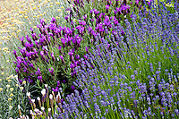 Lavender plants in full bloom. Union Bay Vancouver Island