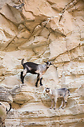Two mountain goats climbing on rock formations, Pegeia, Cyprus