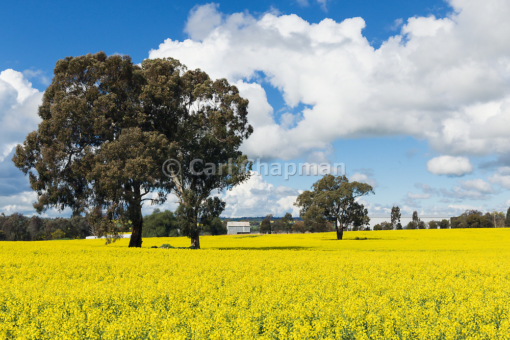 trees in a field of flowering canola crop under blue sky and cumulus cloud near Brucedale, New South Wales, Austraila. <br /> <br /> Editions:- Open Edition Print / Stock Image