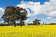trees in a field of flowering canola crop under blue sky and cumulus cloud near Brucedale, New South Wales, Austraila. <br />