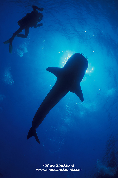A diver experiences the thrill of a lifetime, swimming next to the world's largest fish, a Whale Shark, Rhincodon typus.  Richelieu Rock, Thailand, Andaman Sea