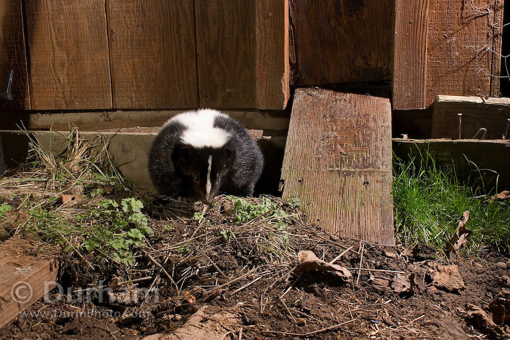 A striped skunk (Mephitis mephitis) emerges from a burrow under a chicken coop on Sauvie Island, Oregon. Photographed at night with a remote camera.