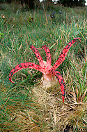 Devil's Fingers - Clathrus archeri