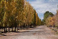 ALAMOS EN OTONO, MALARGUE, PROVINCIA DE MENDOZA, ARGENTINA
