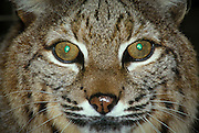 A male bobcat (Felis rufus) with eye reflection from the reflective membrane behind the retina called the tapetum lucidum.