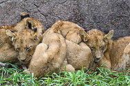 Die vier jüngsten Mitglieder des Kambula-Rudels (Panthera leo) schmiegen sich an einem kalten und regnerischen Tag an einer Felswand eng aneinander, Greater Kruger Area, Südafrika<br /> <br /> The four youngest members of the Kambula pack (Panthera leo) nestle close together on a rock wall on a cold and rainy day, Greater Kruger Area, South Africa