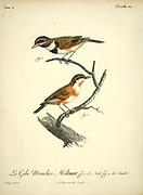 Male and female Gobe mouches Molenar from the Book Histoire naturelle des oiseaux d'Afrique [Natural History of birds of Africa] Volume 4, by Le Vaillant, Francois, 1753-1824; Publish in Paris by Chez J.J. Fuchs, libraire 1805