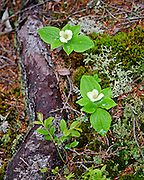 Bunchberry (Cornus canadensis) flowering on the forest floor, Ship Harbor Nature Trail, Acadia National Park, Maine