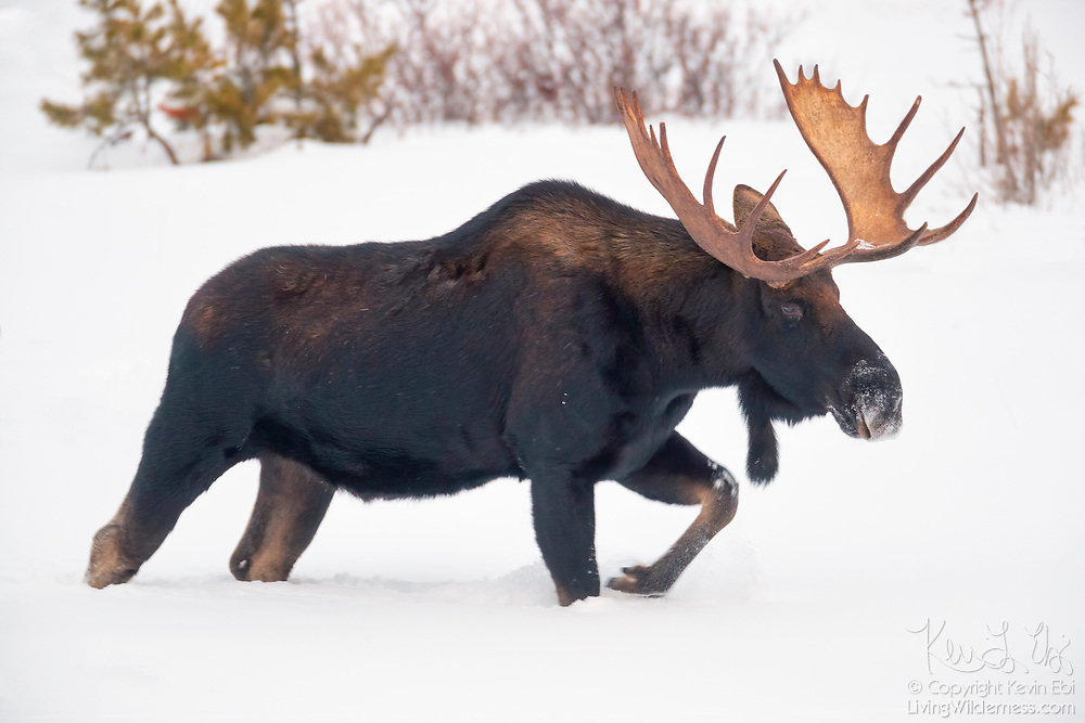 A large moose (Alces alces) walks in deep snow in search for food in Yellowstone National Park, Wyoming. Moose, which are known as elk in Eurasia, have thick skin and other features that make them well-adapted for cold weather.
