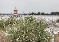 THEMENBILD - Blumen am Strand im HIntergrund ein Leuchtturm. Lignano ist ein beliebter Badeort an der italienischen Adria-Küste, aufgenommen am 15. Juni 2019, Lignano, Italien // Flowers on the beach in the background a lighthouse. Lignano is a popular seaside resort on the Italian Adriatic coast on 2019/06/15, Lignano Sabbiadoro, Italy. EXPA Pictures © 2019, PhotoCredit: EXPA/ Stefanie Oberhauser