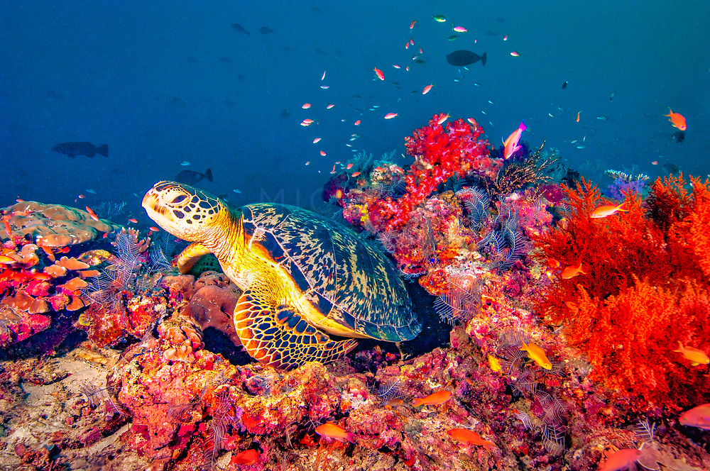 A Green Turtle (Chelonia mydas) resting on colourful soft coral reef, Komodo Islands, Indonesia.<br /> <br /> Code: LSIU0045<br /> <br /> Available as a an open edition print and a stock image.<br /> <br /> Add to Cart to see options and pricing.