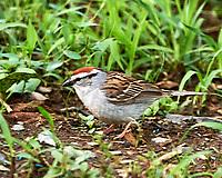 Chipping Sparrow. Image taken with a Nikon D4 camera and 500 mm f/4 VR lens