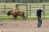 Veterinary Sven Björk darting one of the bison for transportation. Transportation of European Bison, or Wisent, from the Avesta Visentpark, in Avesta, Sweden. The animals were then transported to the Armenis area in the Southern Carpathians, Romania. All arranged by Rewilding Europe and WWF Romania, with financial support from The Dutch Postcode Lottery, the  Swedish Postcode Foundation and the Liberty Wildlife Fund.