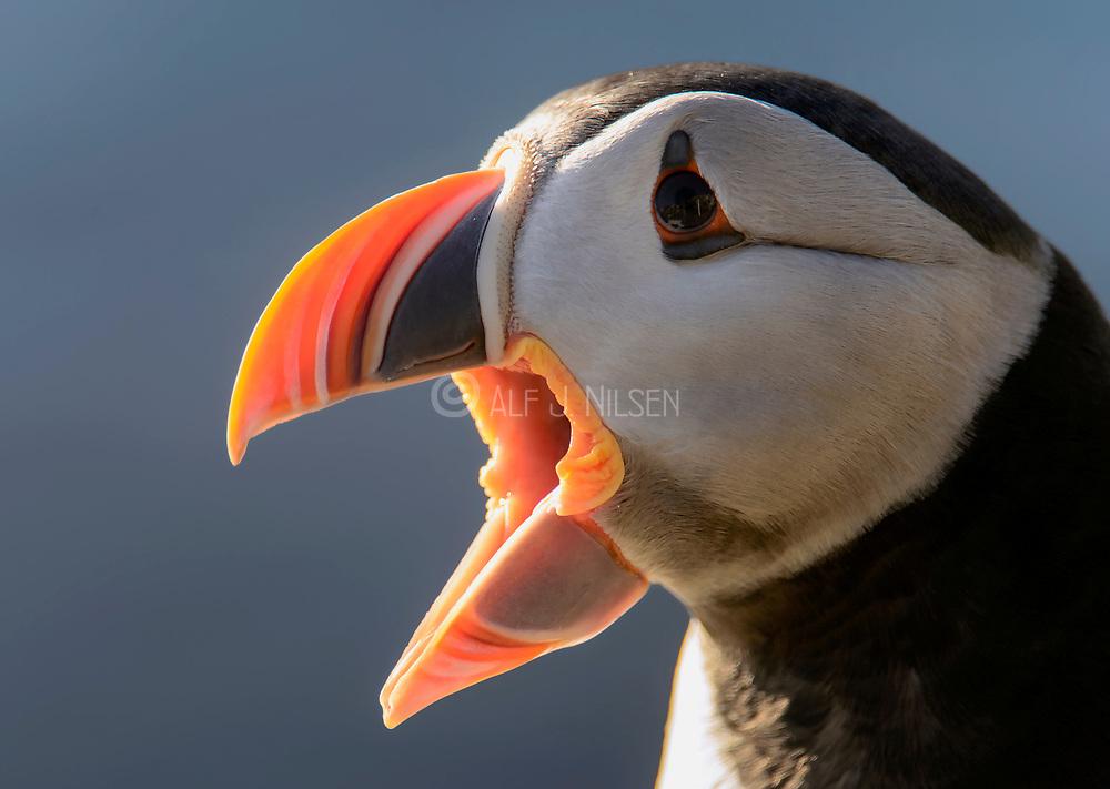 Close up of the Atlantic puffin (Fratercula arctica).