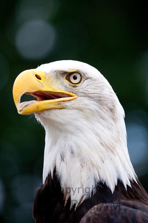 Bald eagle,  Haliaeetus leucocephalus, UK
