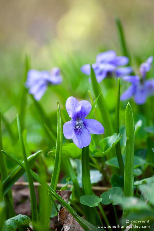 Early Dog Violet. Viola reichenbachiana