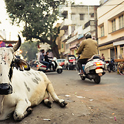 Cow in street in old town of Jaipur