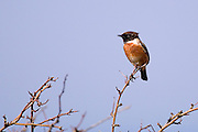 Disctinctive wildbird, this male Stonechat, was singing on a bush near the Rine Peninsula, Ballyvaughn, Clare