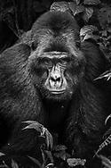 Silberrücken Berggorilla (Gorilla beringei beringei), Bwindi Forest, Uganda<br /> <br /> Silverback Mountain Gorilla (Gorilla beringei beringei), Bwindi Forest, Uganda