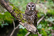 A Barred Owl sits on a branch as it looks for a meal, Friday, May 29, 2020, in Nashville, Tenn. (Wade Payne via AP Images)