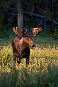 Bull moose with antlers in velvet in Wyoming
