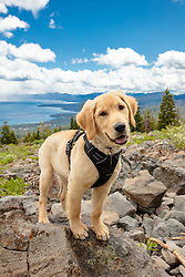 """""""Puppy Above Lake Tahoe 1"""" - Photograph of Golden Retriever puppy """"Quill"""" above Lake Tahoe."""