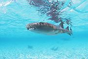 swimming nurse shark, Ginglymostoma cirratum, Belize, Central America ( Caribbean Sea )