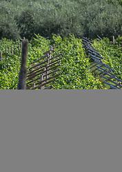 THEMENBILD - ein Weingarten mit Weinreben, aufgenommen am 28. Juli 2018, Riva del Garda, Italien // a vineyard with grape vines on 2018/07/28, Riva del Garda, Italy. EXPA Pictures © 2018, PhotoCredit: EXPA/ Stefanie Oberhauser