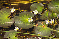 """These very pretty little aquatic wildflowers are native to the American Southeast, and can be found in all the coastal states from Texas to Maryland in calm, still water such as ponds swamps and lakes, and are most abundant in Florida. These are perhaps best known to aquarium hobbyists as """"banana plants"""" due to the thick underwater rhizomes that look lie a small cluster of bananas. These were found is a small pond in a pine scrub woodland just north of Jupiter, Florida."""