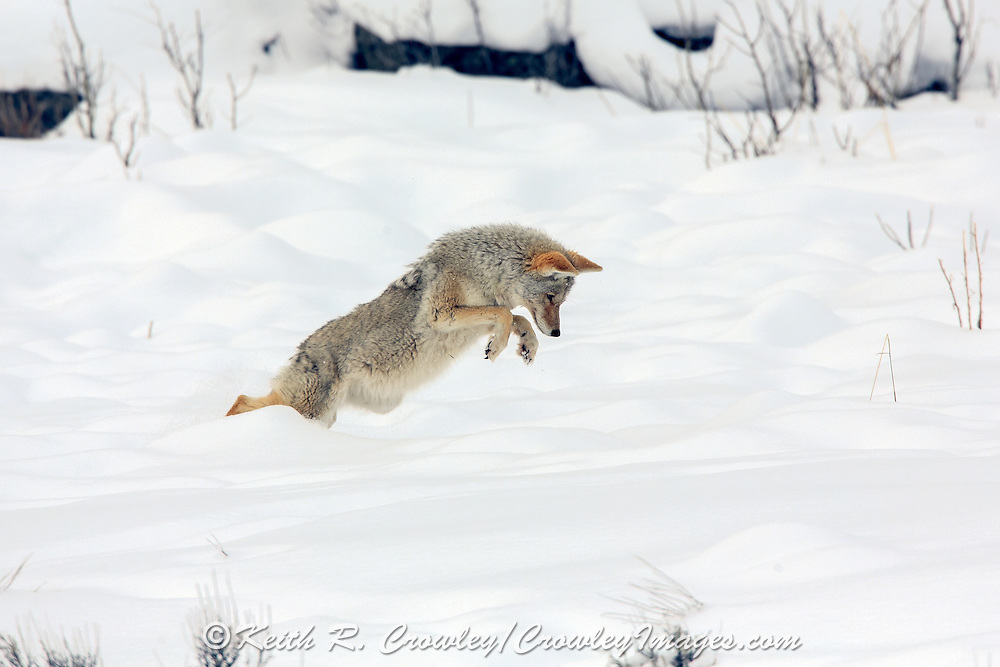 Coyote (Canis latrans) pounces on prey in winter Habitat