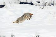 Coyote (Canis latrans) pounces on prey in winter Habitat