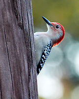 Red-bellied Woodpecker (Melanerpes carolinus). Images taken with a Nikon N1V3 camera and 70-300 mm VR lens.