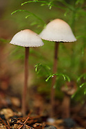 Two Mushrooms found at Wu Ying District Nature Reserve, near Yichun city, Heilongjiang Province, China